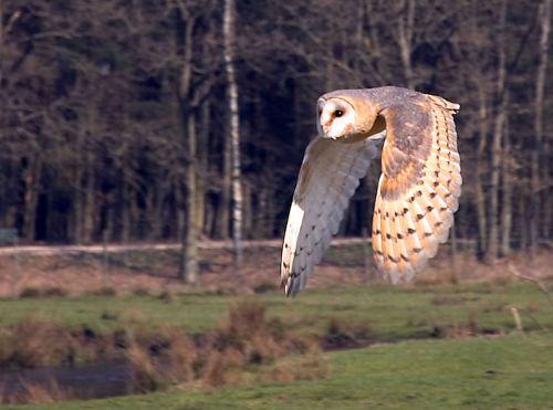 Barn Owl in flisht